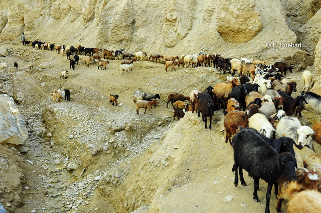 Goats going home, Daykundi